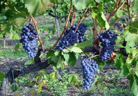 Grape harvest is starting around hotel Villa le Barone!