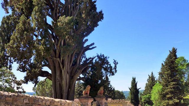 A centenial cypress close to Villa le Barone dans le Chianti